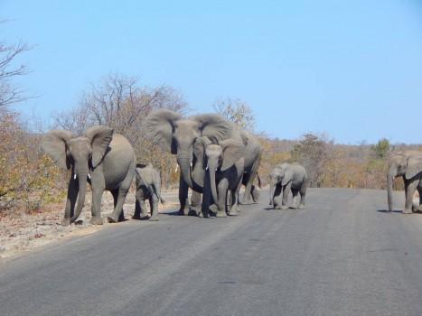Elephants in Kruger NP