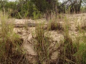 Kovango Croc