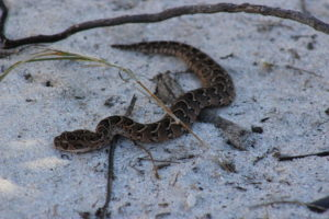 Young Puff Adder